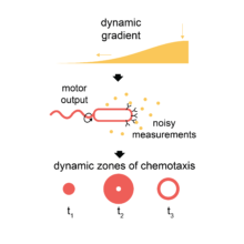 Physical limits on bacterial navigation
